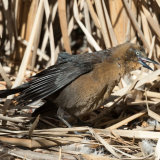 Great-tailed Grackle female basking