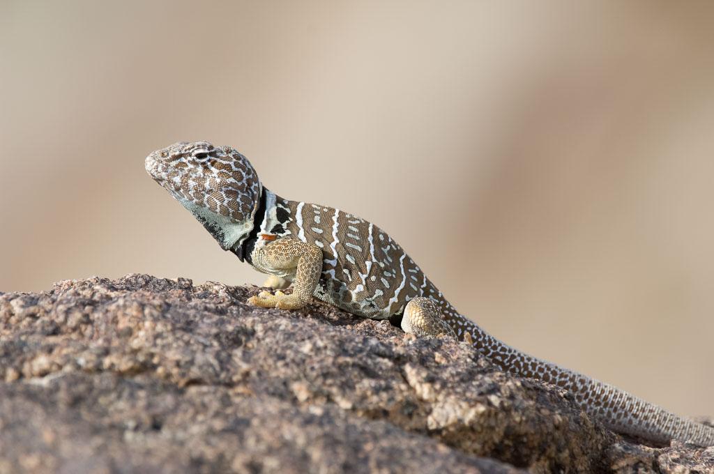 Great Basin Lizard gravid