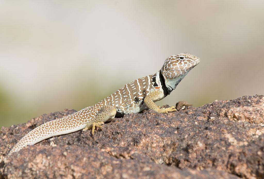 Great Basin Lizard gravid (2)