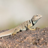 Great Basin Lizard gravid (2)