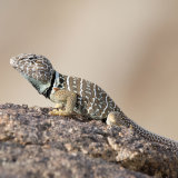 Great Basin Lizard gravid