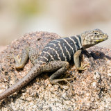 Great Basin Lizard on rock