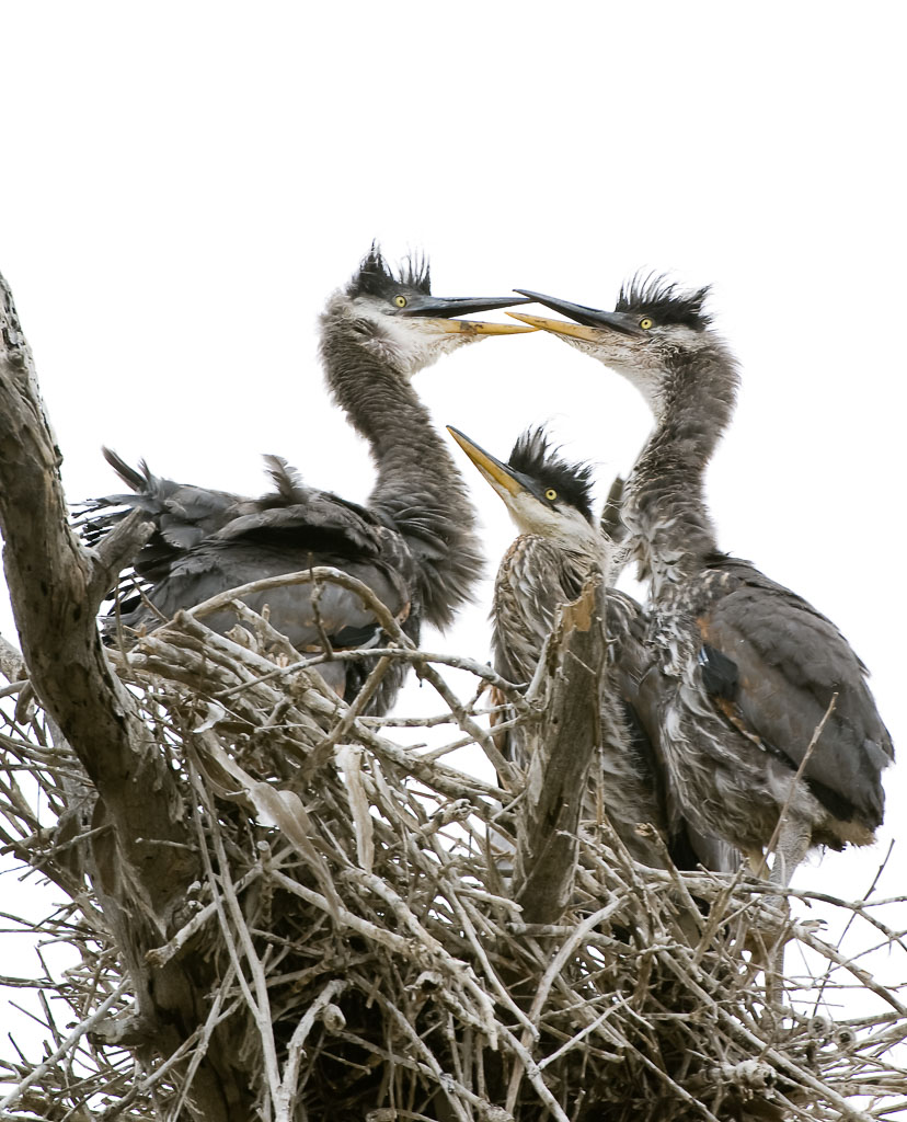 Great Blue Heron chicks on nest