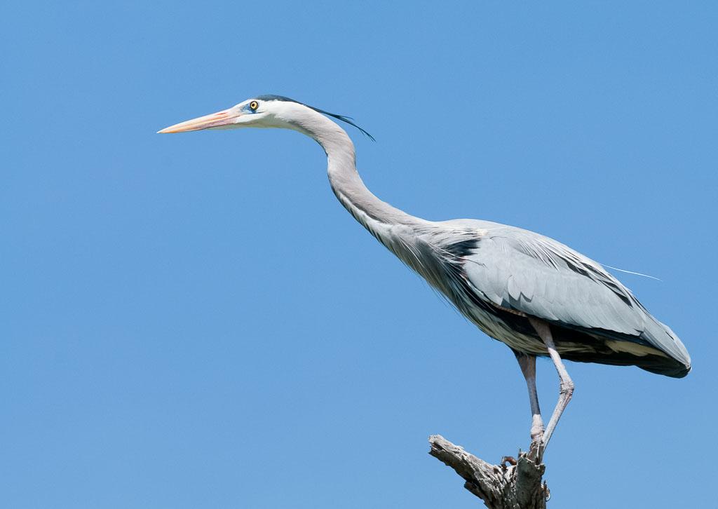 Great Blue Heron on stump against blue sky