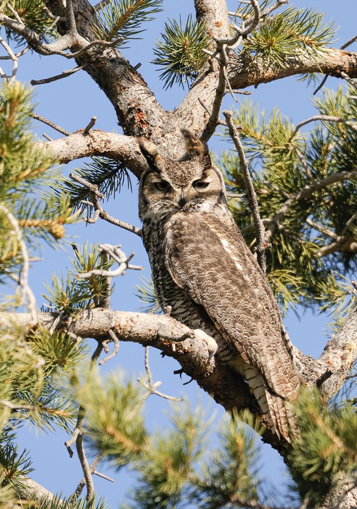 Great Horned Owl against tree trunk