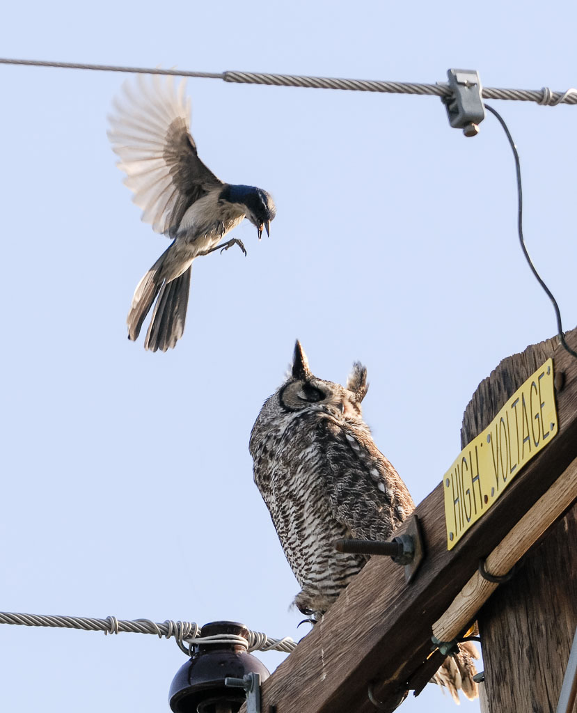 Great Horned Owl being mobbed by scrub Jay