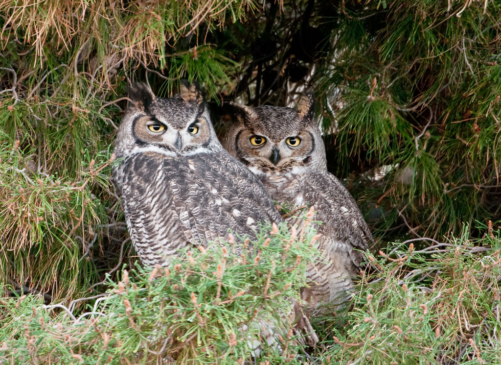 Great Horned Owl pair at day roost
