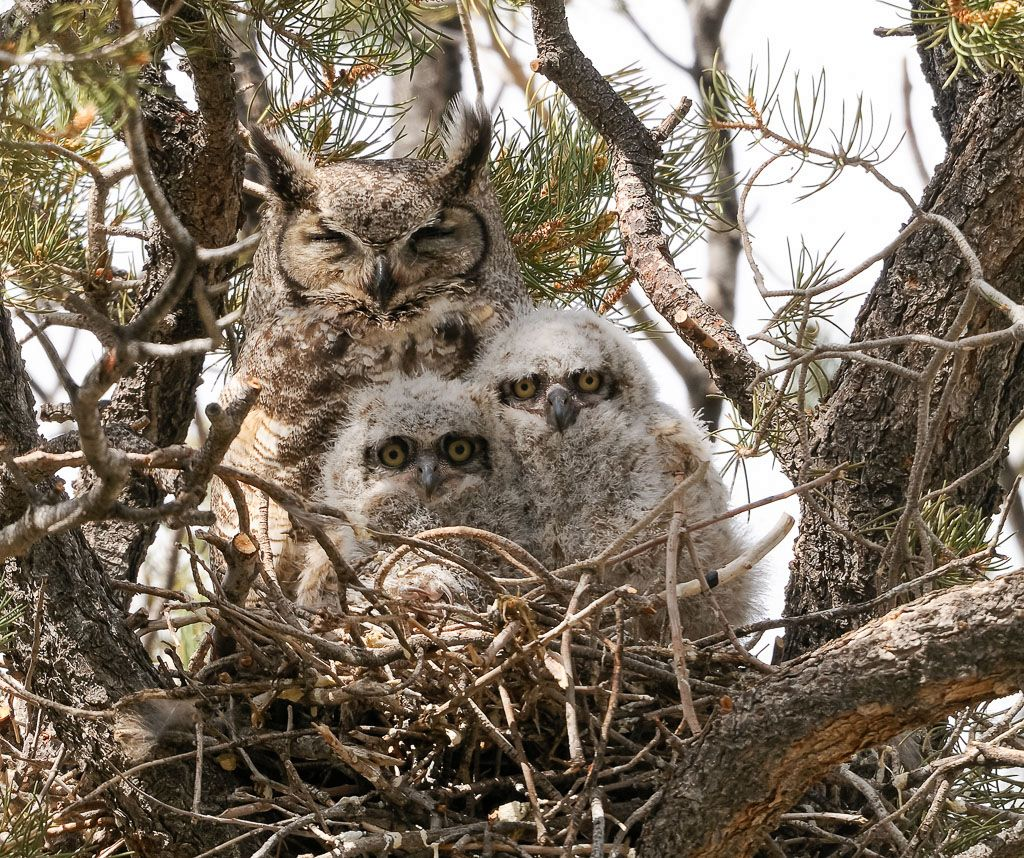 Great Horned Owl with 2 owlets