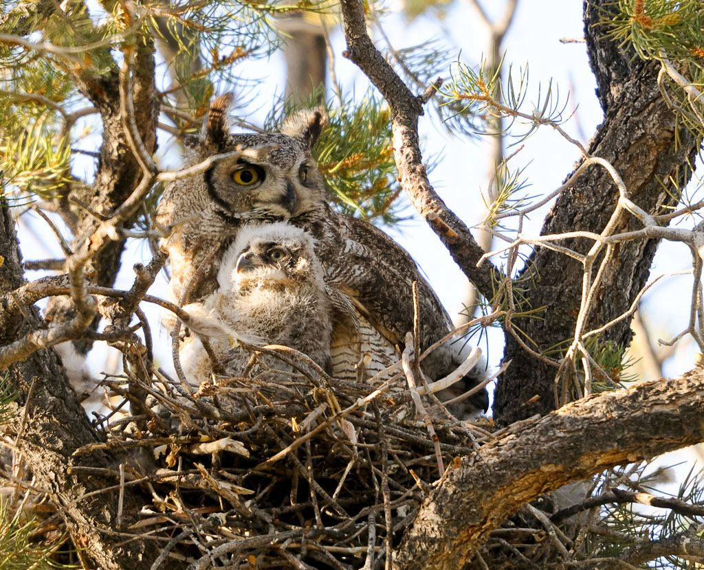 Great Horned Owl with single Owlet