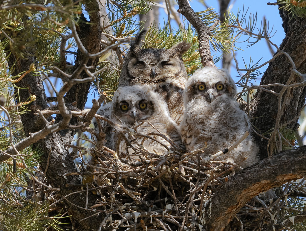 Great Horned Owl with two owlets