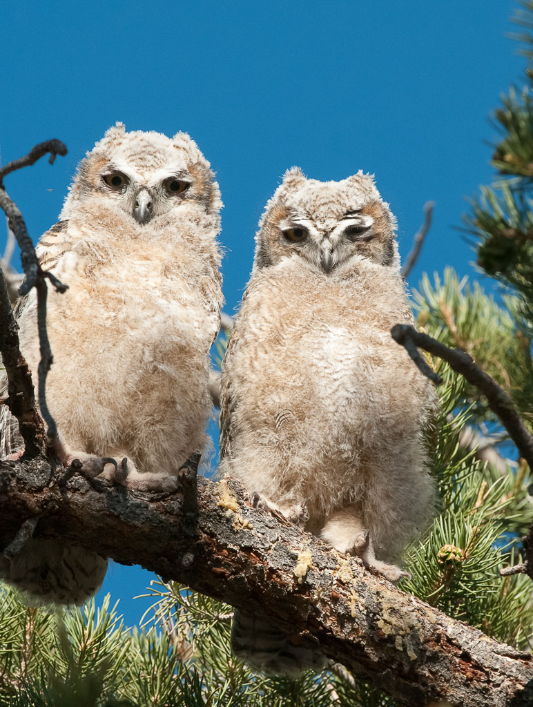 Great Horned Owlets pair away from nest
