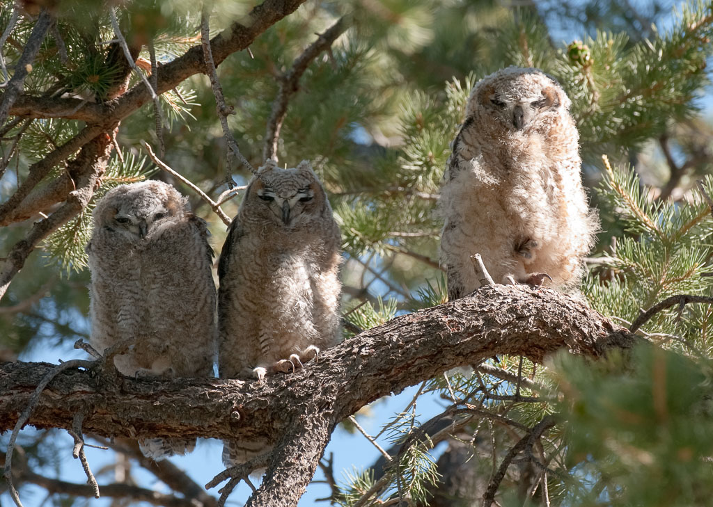 Great Horned Owlets three on branch