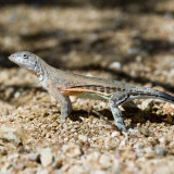 Greater Earless Lizard Chihuahuan sub species