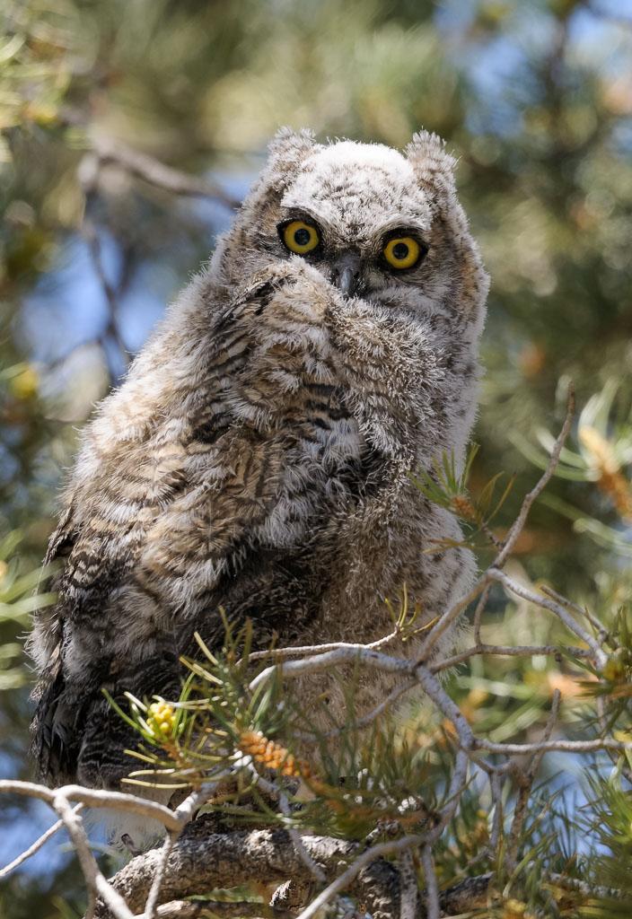 Greater Horned Owlet away from nest