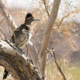 Greater Roadrunner in smoke tree