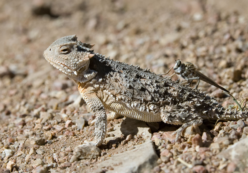 Greater Short-horned Lizard with robber fly