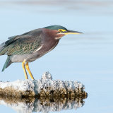 Green Heron salton sea