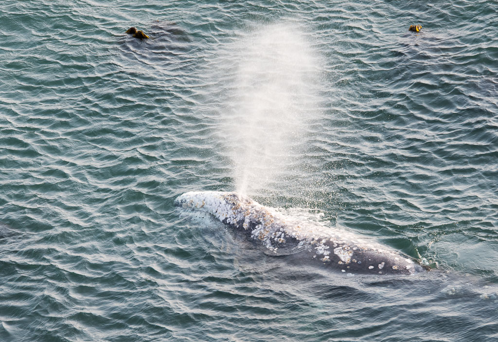 Grey Whale blowing