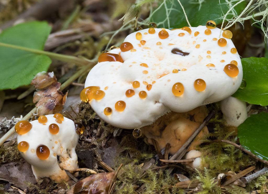 Guttation drops Fomitopsis pinicola