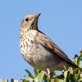 Hermit Thrush on bush
