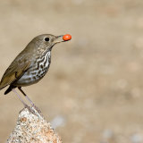 Hermit Thrush with berry