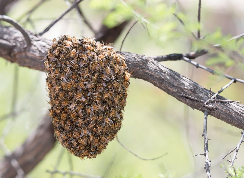 Honey Bee swarm temporarily in tree-2