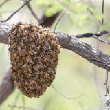 Honey Bee swarm temporarily in tree-2