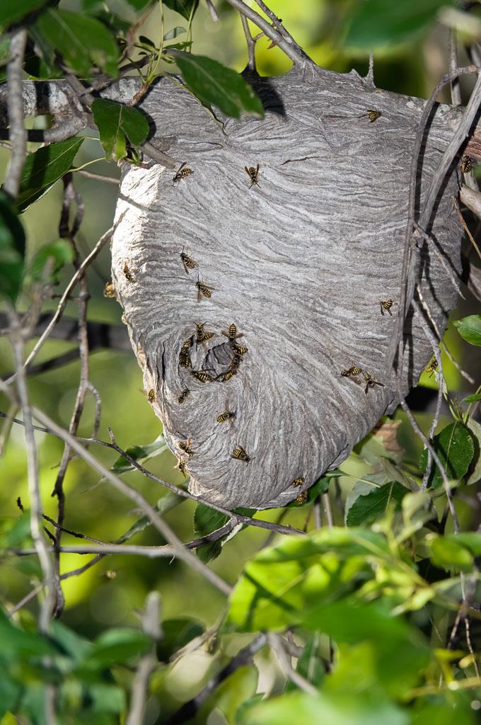 Hornet paper nest