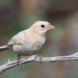 House Finch albino