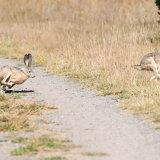 Jack Rabbit Hare chasing