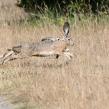 Jack Rabbits running-2