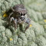 Jumping Spider on mallow leaf-2