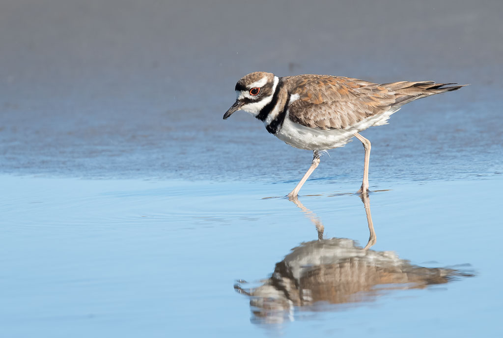 Kildeer walking reflection