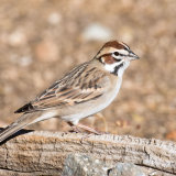 Lark Sparrow on dead root
