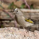 Lawrence's Goldfinch Leucistic