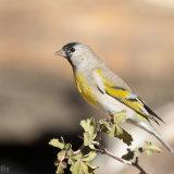 Lawrence's Goldfinch on scrub oak