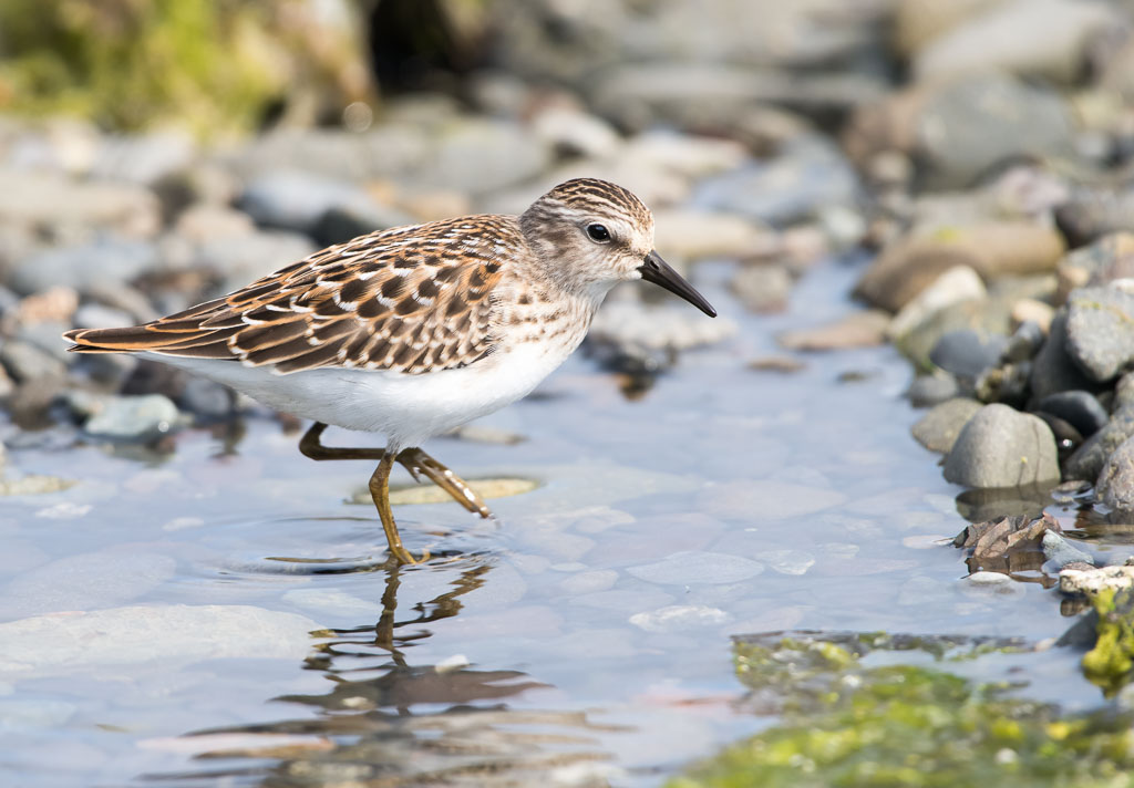 Least Sandpiper walking