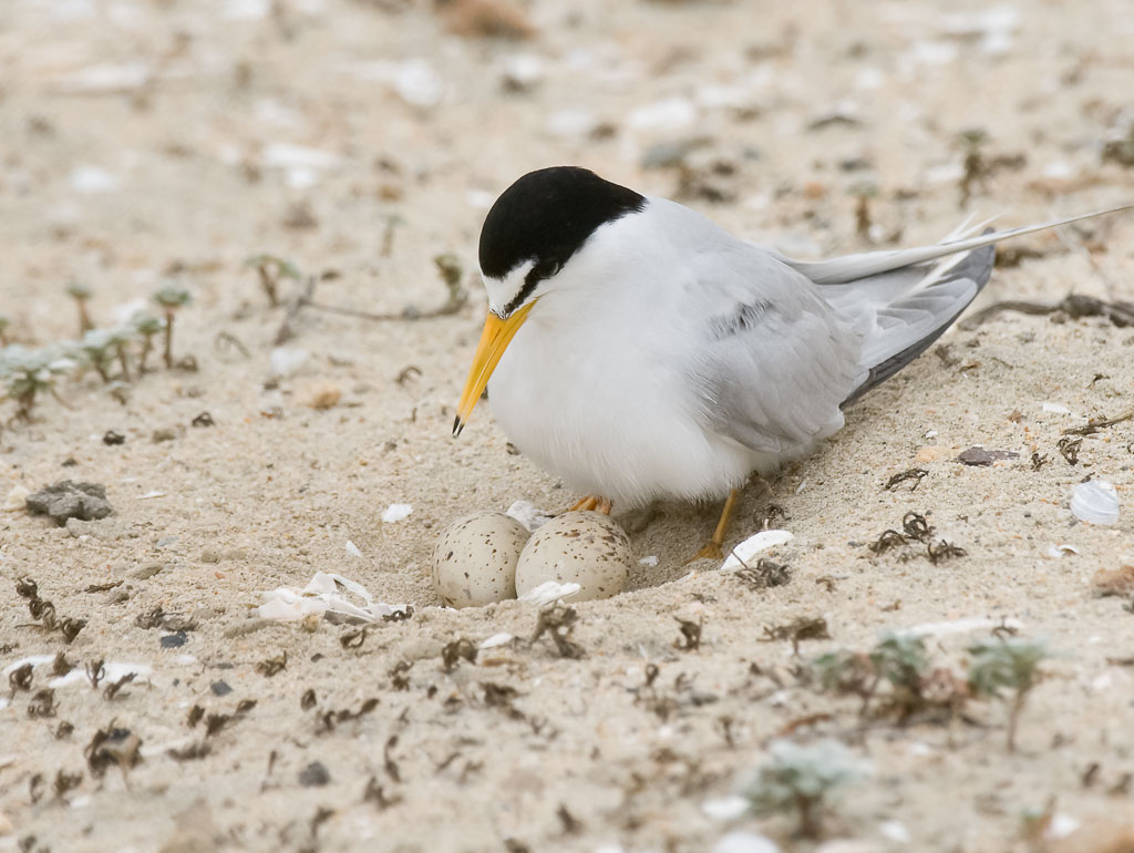 Least Tern with eggs