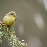 Lesser Goldfinch in snow