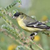 Lesser Goldfinch on fiddleneck-2