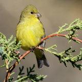 Lesser Goldfinch on juniper