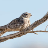 Lesser Nighthawk in tree