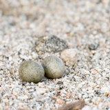 Lesser Nighthawk nest