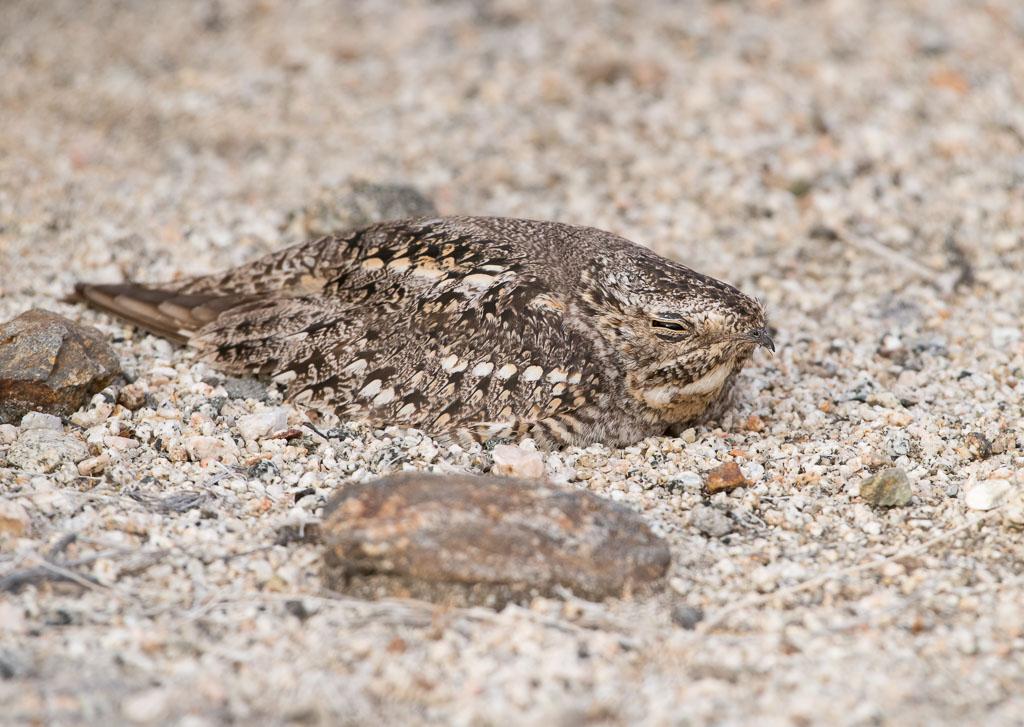 Lesser Nighthawk on nest