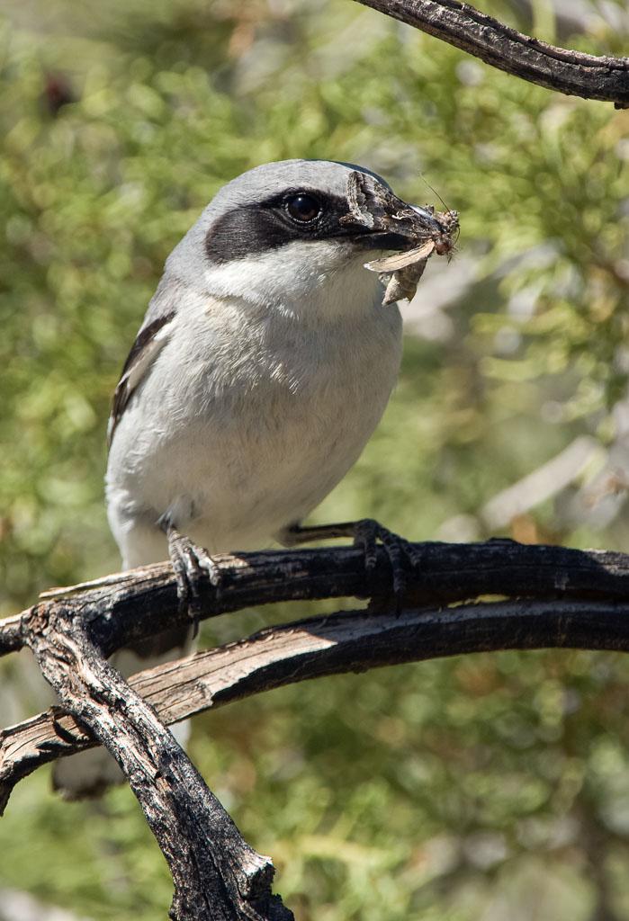 Loggerhead shrike with food for chicks