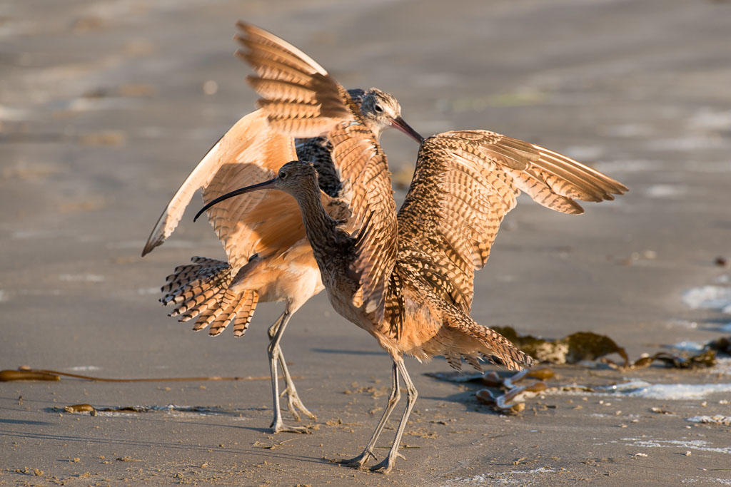 Long-billed Curlew dancing
