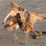 Long-billed Curlew dancing