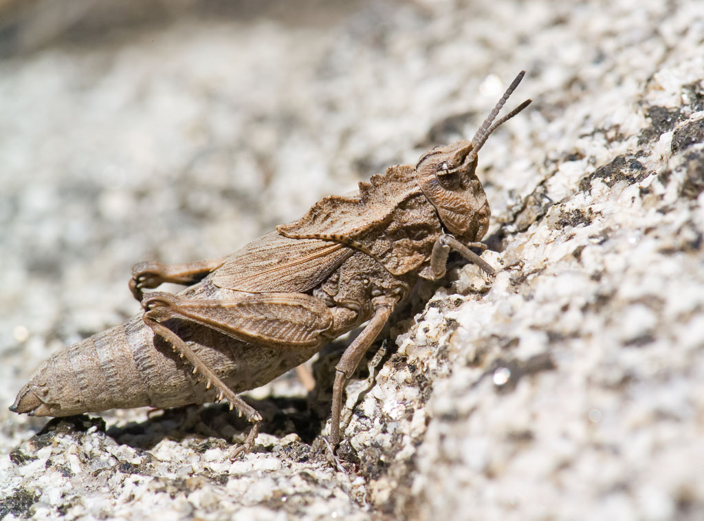 Lubber Brown Grasshopper Dragon Lubber