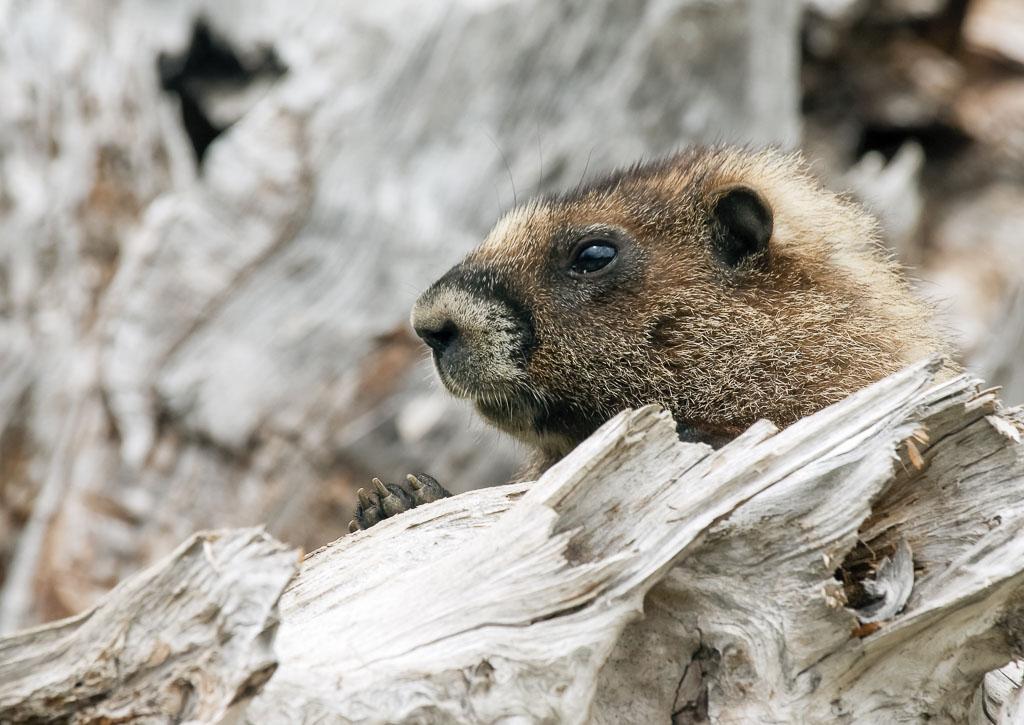 Marmot on lookout