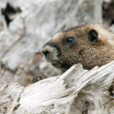 Marmot on lookout